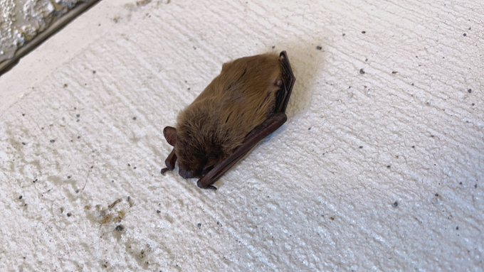 2 pic. There was a tiny bat on my stairwell! https://t.co/4MLcvduYDD