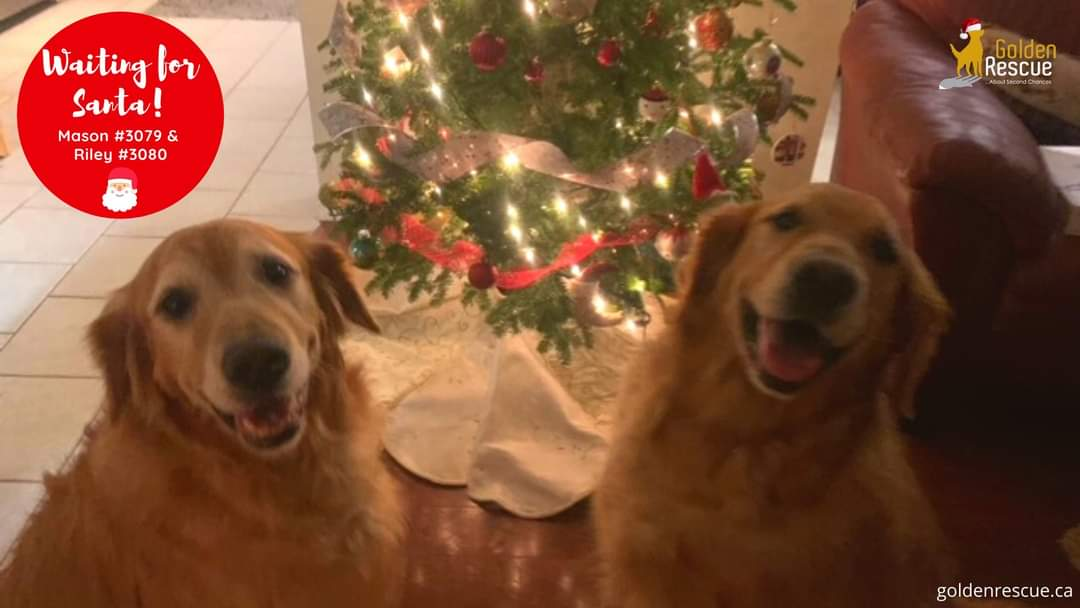 #ThrowbackThursday to Mason #3079 and Riley #3080 waiting for Santa! No doubt that these two are on Santa's nice list all year long!  #goldenretriever #rescuedog #throwbackthursday #nicelist