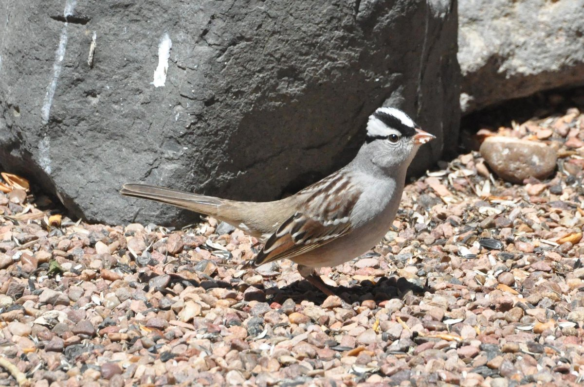 "White-crowned Sparrow (Zonotrichia leucophrys) is a handsome winter resident. Young male birds learn to sing from the other males in their neighborhood. Researchers have discovered that regions have song dialects and those on the edge will be ""bilingual"". (hl) #PetrifiedForest"