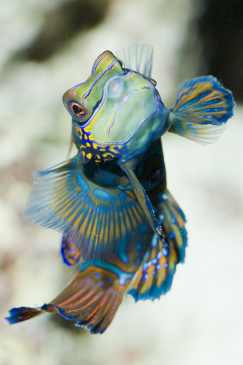 We may not have dressed up to say #happynewyear, but even if we did, the flashy  Mandarin Dragonet would have had us beat! This fish is one of the few vertebrates that produces a rare true blue hue.