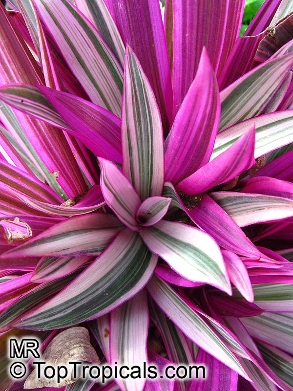 #Tradescantia spathacea - Rhoeo Tricolor. Very bright purple-green-white leaves of this variegated variety make a beautiful ground cover. Easy to grow and fast-spreading. Can be used as houseplant or in interiorscape.  #ornamentalplants #SaturdayMorning