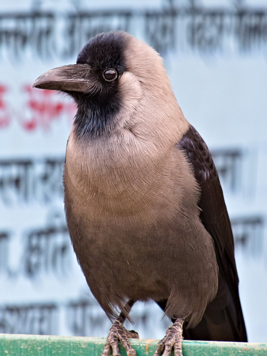 It's one of the most intelligent bird, having most adaptability, having most useful beak, most social bird & sadly most underrated bird also. It's a House Crow. #IndiAves #IndiWild #birding #BirdTwitter #birds #wildlife #nature  #ThePhotoHour #NaturePhotography @Avibase @goldsant https://t.co/S9tmFu9aOB