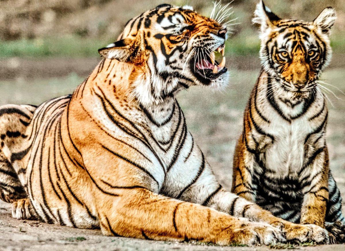 बेटे, सुनो👂  #ranthambhore #tiger  #Tigerfamily  #India  #ranthambore