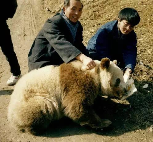 The First Brown Giant Panda Found in the World, Dan Dan(1/2)  Qi Zai is not the only brown giant panda found in the world 🐼🤎 #BrownPanda #DanDan #Precious   Learn more👇