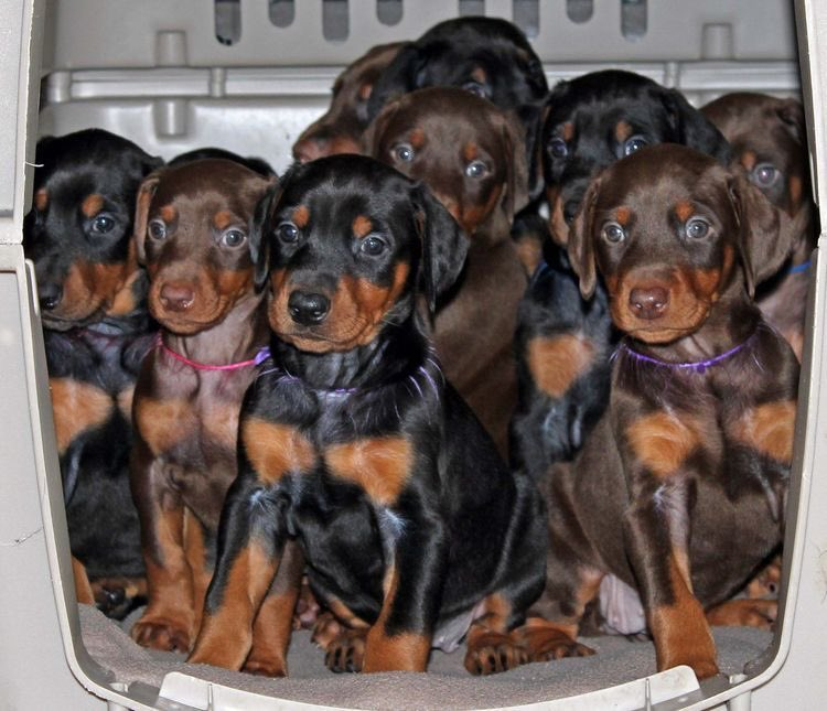 En toda nuestra vida nunca habíamos sentido tanto amor. Nos enorgullece haber traído a nueve fuertes y saludables cachorritos al mundo. ¡Bienvenidos pequeños!                          #nueve #cachorros #mamás #GranjaAnimal #Bluebell #Jessie #Pincher