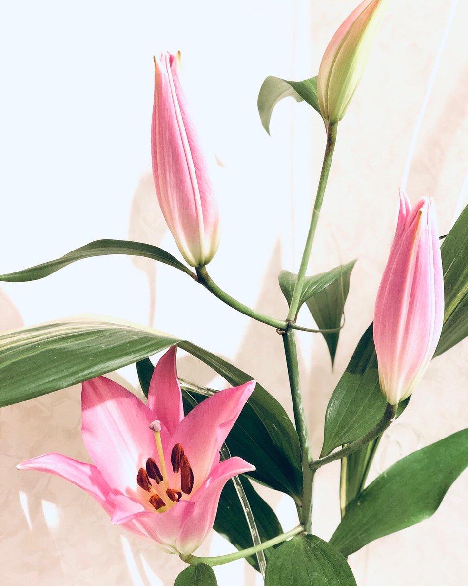 今朝のお花~💐 一週間前に購入した🌸 オリエンタルリリーの蕾が開き始めました❣️😃 寒い日が続くせいか、水揚げが良い割に時間が掛かりました。 雄蕊を✂️カットして他の蕾が開くのを待ちます♪🥰 ・ ・ ・ #Family  #Precious  #季節の花 #オリエンタルリリー
