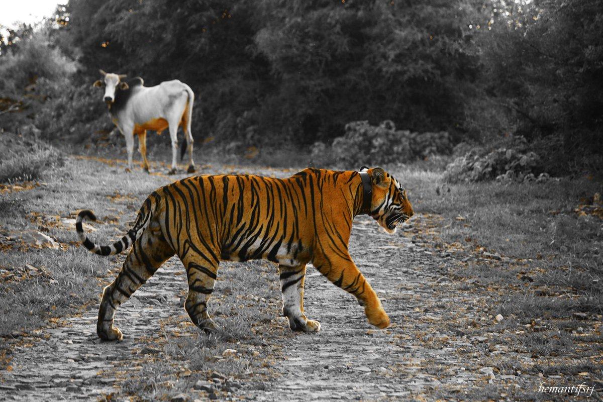 The Sherrif in Town... #conflict #watchyourback #ranthambore #tiger @ntca_india @RanthamboreTig2 @deespeak