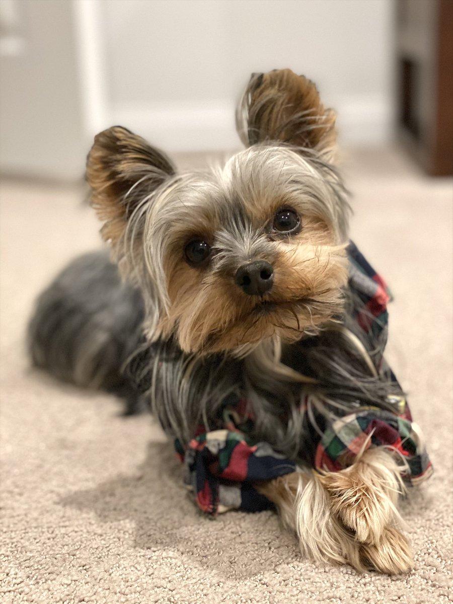 Fashionably late for National Dress Your Pet Up Day 🐶   #NationalDressUpYourPetDay #DressUpYourPetDay #dogsoftwitter #doggo #Yorkshire #yorkie #cute #pet #ObiWan #mylittlejedi #petportrait