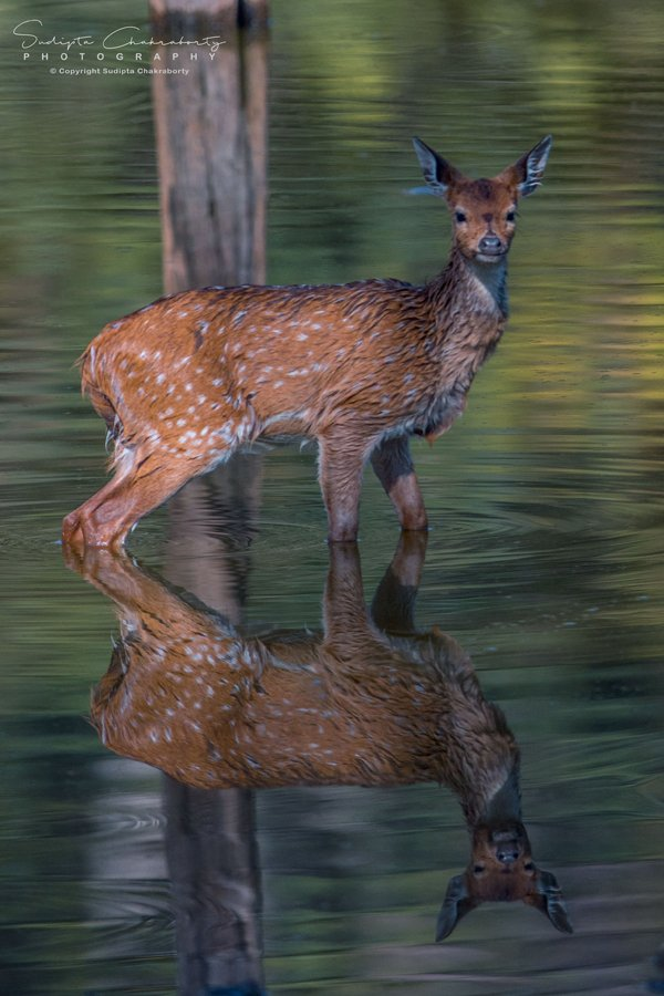 Reflection, Chital /Spotted deer 🦌(Axis axis). #Photooftheday clicked by #sevusgallery member  SUDIPTA CHAKRABORTY at Pench National Park.  #deer #nature #wildlife #whitetail  #buck #animals #antlers #wild #forest #deerseason #instapic #instaphoto #chital #wildlifephotography