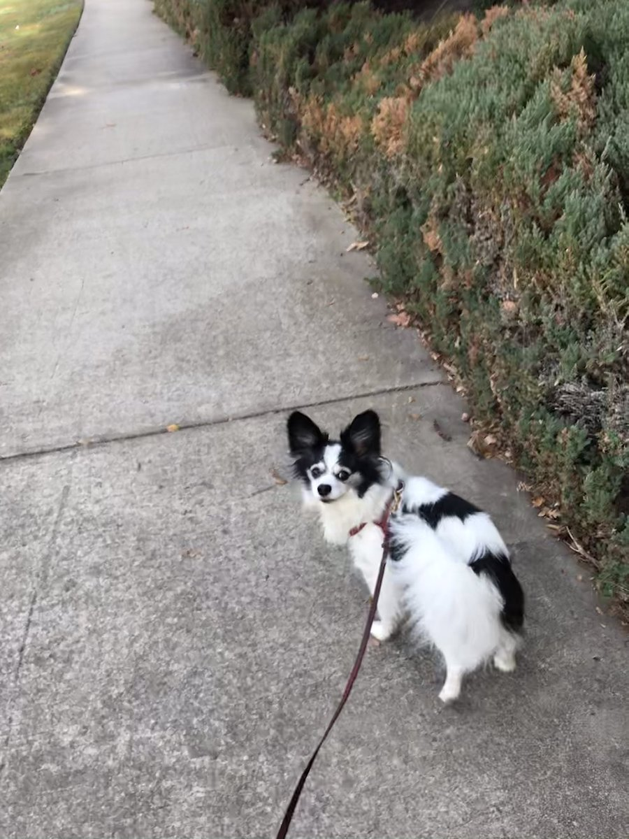 Charlie. #PREAMPetCare #SacramentoPetCare #SacramentoPetSitter #SacramentoDogWalker #PetCare #PetSitter #DogWalker #Sacramento #SacTown #SouthSac #SouthSacramento #ElkGrove #FarmToForkCapital #CityOfTrees #Papillon #Dog #Canine   @PREAMPetCare on FB/IG