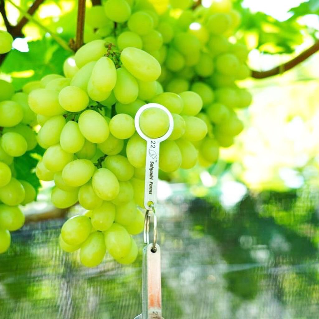 👀🍇 ARRA 15 is a popular white grape with attractive elongated berries and a fantastic sugar/acid balance.  #vineyard #grapes #berries #whitegrape #premium #quality #healthfood #healthy #health #farming #farm #agronomy https://t.co/nLoHUNen3E