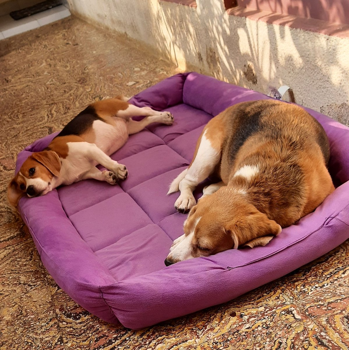 Happy weekend good people!! . . #petparents #puppy #beagle #pets #leash #harness #beagles #fashion #petfashion #trendy #cute #swag #designer #beaglesisters