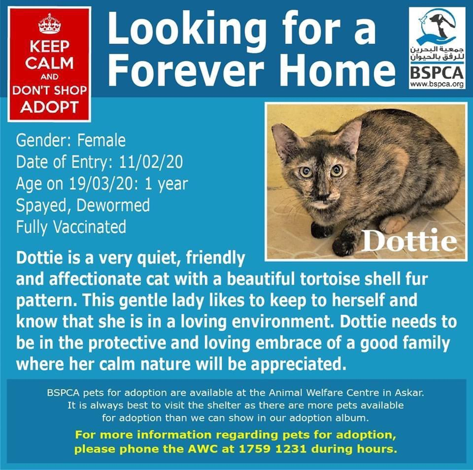 Dottie is a quiet, friendly and affectionate cat with a beautiful tortoiseshell coloured coat 🐱 This is her inquisitive face!  Tel: 17591231  #Bahrain #Adopt #rescue #dogs #cats #charity #spca #donate #volunteer #Dottie