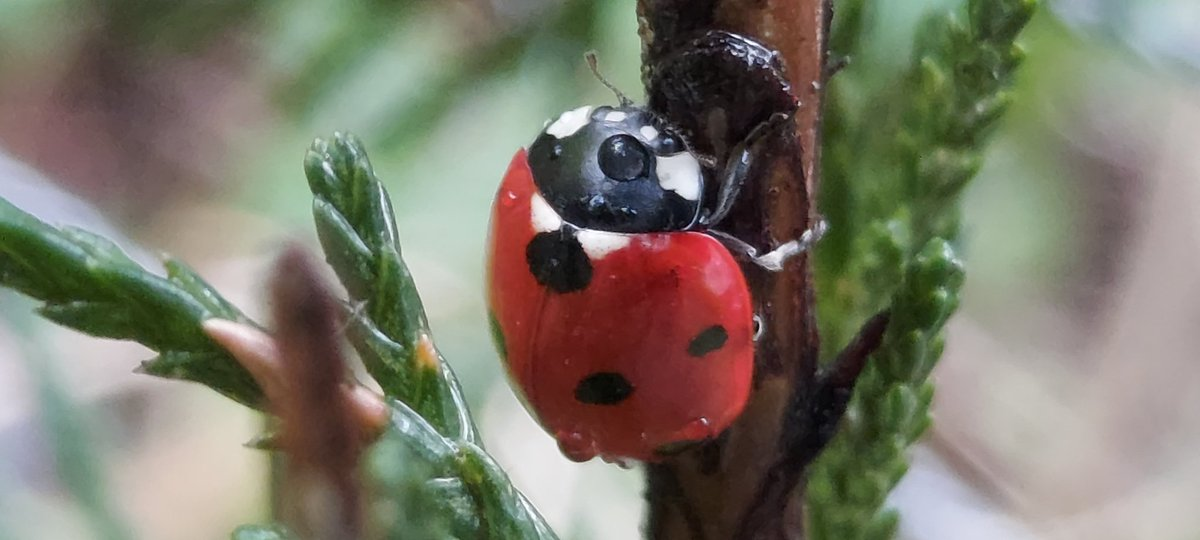 Waiting for the rain to stop - a rather wet 7-spot #ladybird taking cover in a young leyland cypress tree. In the right place (where they can thrive without impacting anyone) I 💚 Leylandii for the shelter they provide to overwintering insects. 🐞