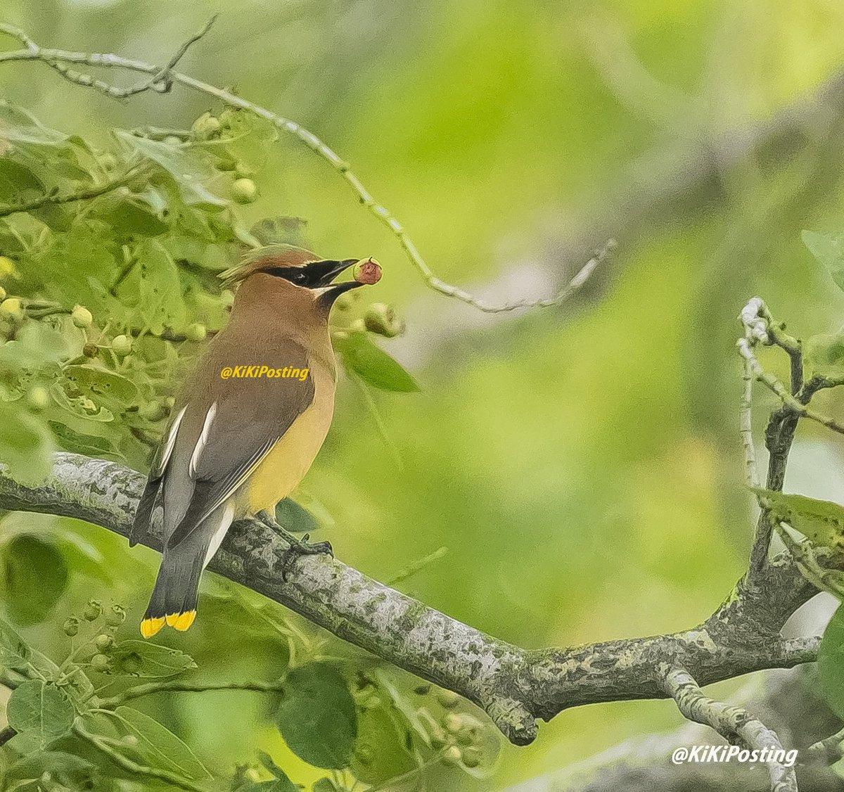 Mmmmm breakfast! #wildlifephotography #wildlife #birds #birdphotography #Peace #harmony #tranquility #photography #nature #NaturePhotography #naturelovers #TwitterNatureCommunity #berries #berry #breakfast https://t.co/Sn9VNJggI3