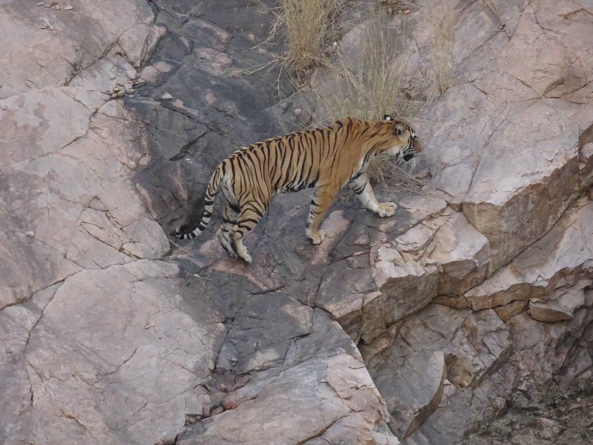 @adityadickysin Spotted Noor in #Ranthambore Zone 3 just a few days back @AnimalsWorId @ParveenKaswan @susantananda3