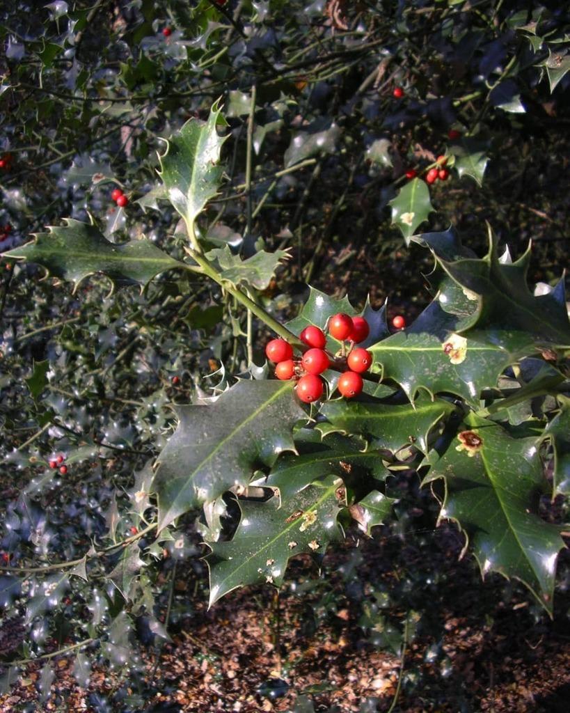 #Holly #Berries #Winter #PictureFrom2014 https://t.co/OsQvKRjvwr https://t.co/rZN9KSAb1C