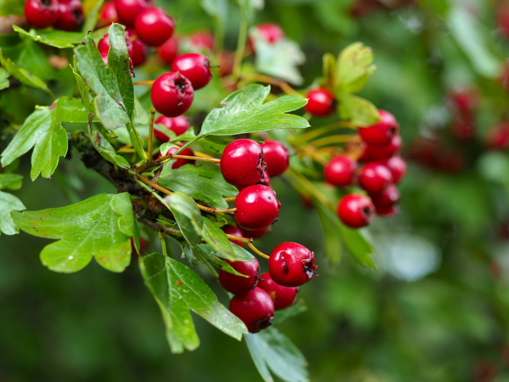Red hawthorn berries in a Yorkshire hedgerow https://t.co/TZkTHaOuPi #berries #photography #nature #naturephotography https://t.co/EfYfCepabu