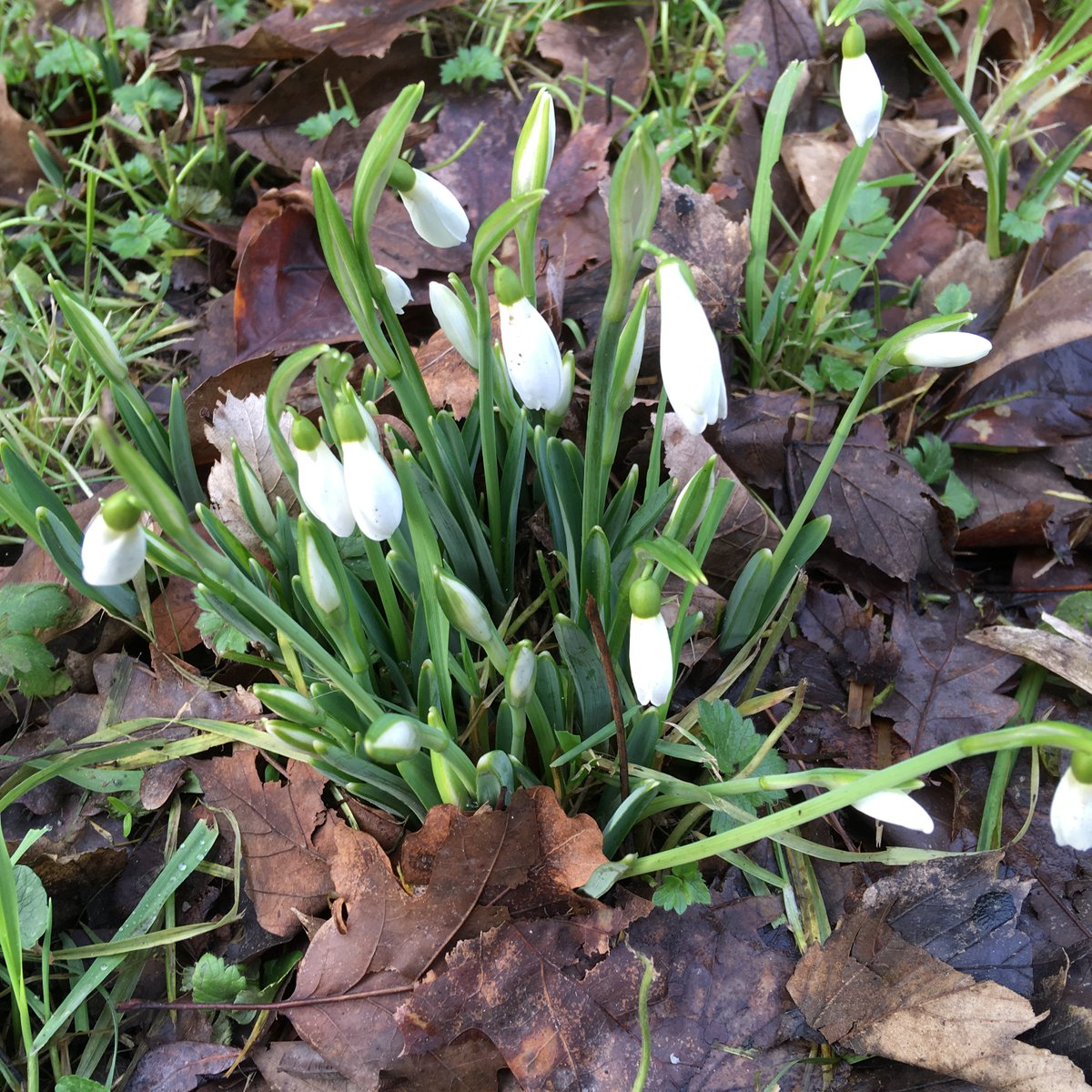 'Percy Picton' Snowdrop name jumped out at me! Alan Street talks to @pollymweston about his life long passion for Snowdrops on Open Country on @BBCRadio4 listen again on #Radio4 Sounds.