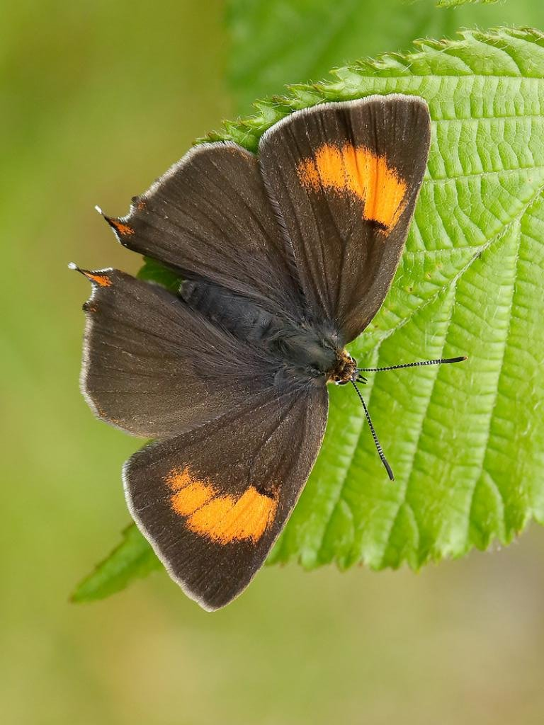 Brown Hairstreak #Butterfly (Thecla betulae)    #TwitterNatureCommunity #nature #NaturePhotography #wildlife #HPLovecraft #wildlifephotography #ThePhotoHour #photooftheday #moth @Marshall_LJ @JamesMcCurthy