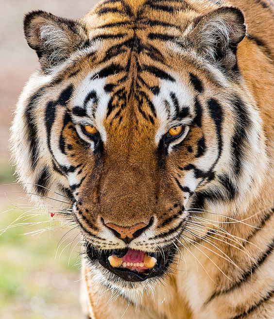 #ranthamboresafaribooking #ranthambore  Ranthambore Tiger Reserve  Posing to be a queen of Ranthambore just like her grandmother, Ridhi the tigress desires to rule the pride and become an example of courage and bravery to fight to survive in the jungle.