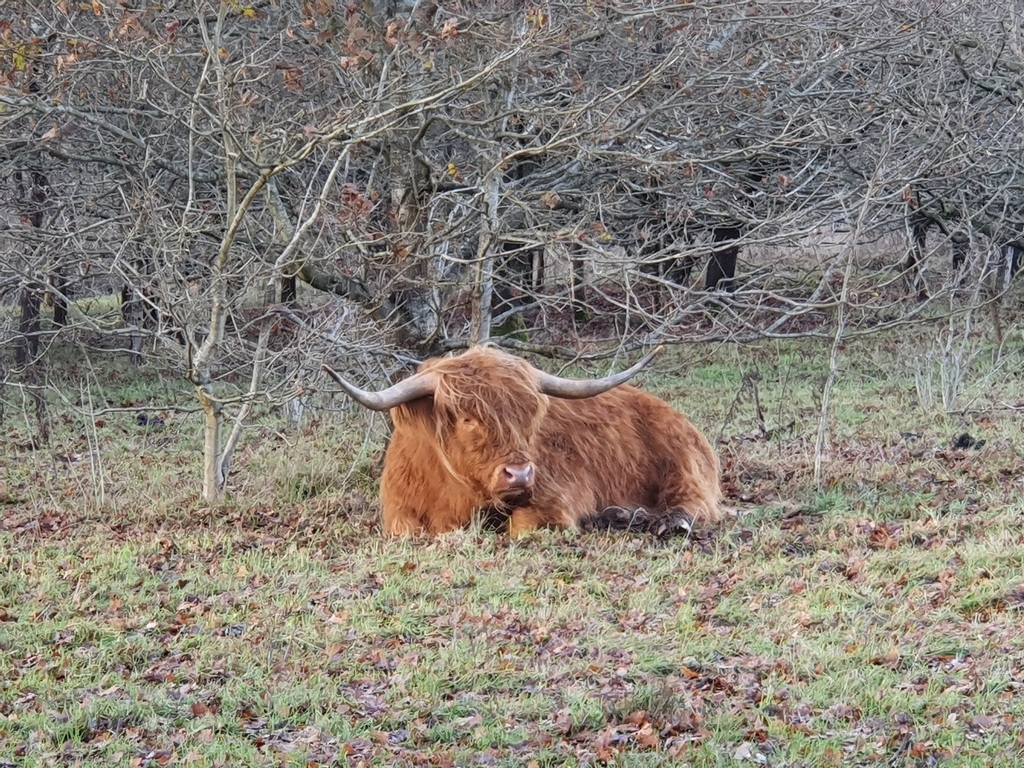 These highland cows will often encourage hikers to take their picture after they have had a fantastic haircut and I can't blame them.  #walking #hiking #countryside #outside #rediscover #adventure #walkingapp #wintervibes #visitengland #forest #woods  #woodland #winter #trees