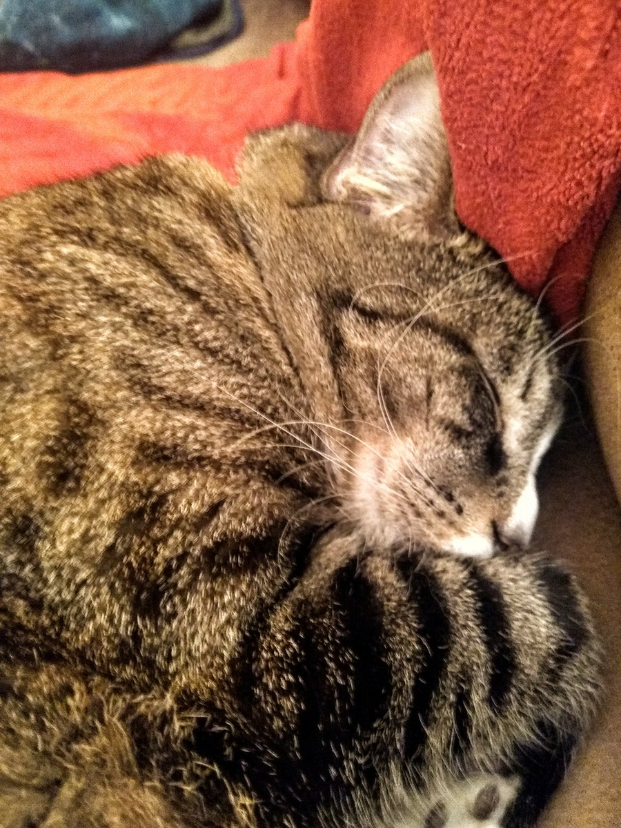 After ransacking cupboards and wreaking mayhem he sleeps the sleep of the innocent. But he is not. #sirwalterscott #Caturday #CatsOfTwitter #cats #mischief