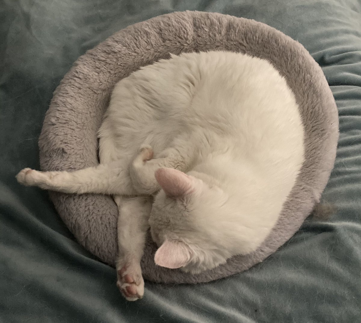 @kedi_sofa My Sasha and sister Ninja love their donut beds. They used to both squeeze into one but they've been feuding lately. Happy #Caturday! #CatsOfTwitter