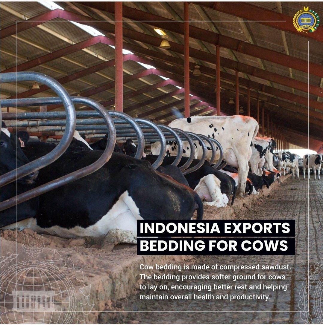 Indonezia exportă aşternuturi pentru bovine fabricate din rumeguș. Acest aşternut de dormit este util pentru îmbunătățirea calității somnului vacilor, astfel încât vitele să fie mai sănătoase și mai productive.  #IniDiplomasi #RintisKemajuan #CowBedding https://t.co/l2hQCWyB2s