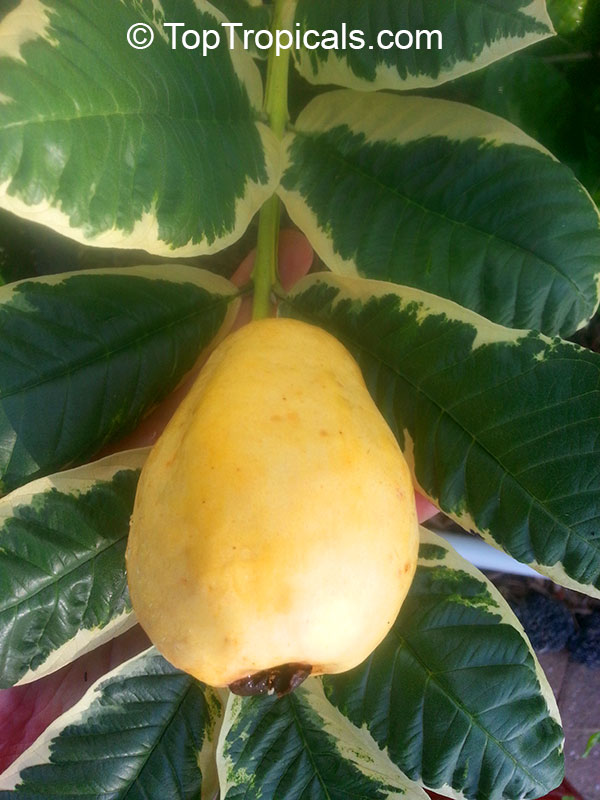 #Psidium guajava Variegated Honey Moon - Unique guava with the sweetest fruit we ever tasted. Fruit is medium size, pear-shaped, bright yellow when ripe. The flesh is pink, very aromatic, sweet and delicious.  #exoticfruits #rareplants #SaturdayMorning
