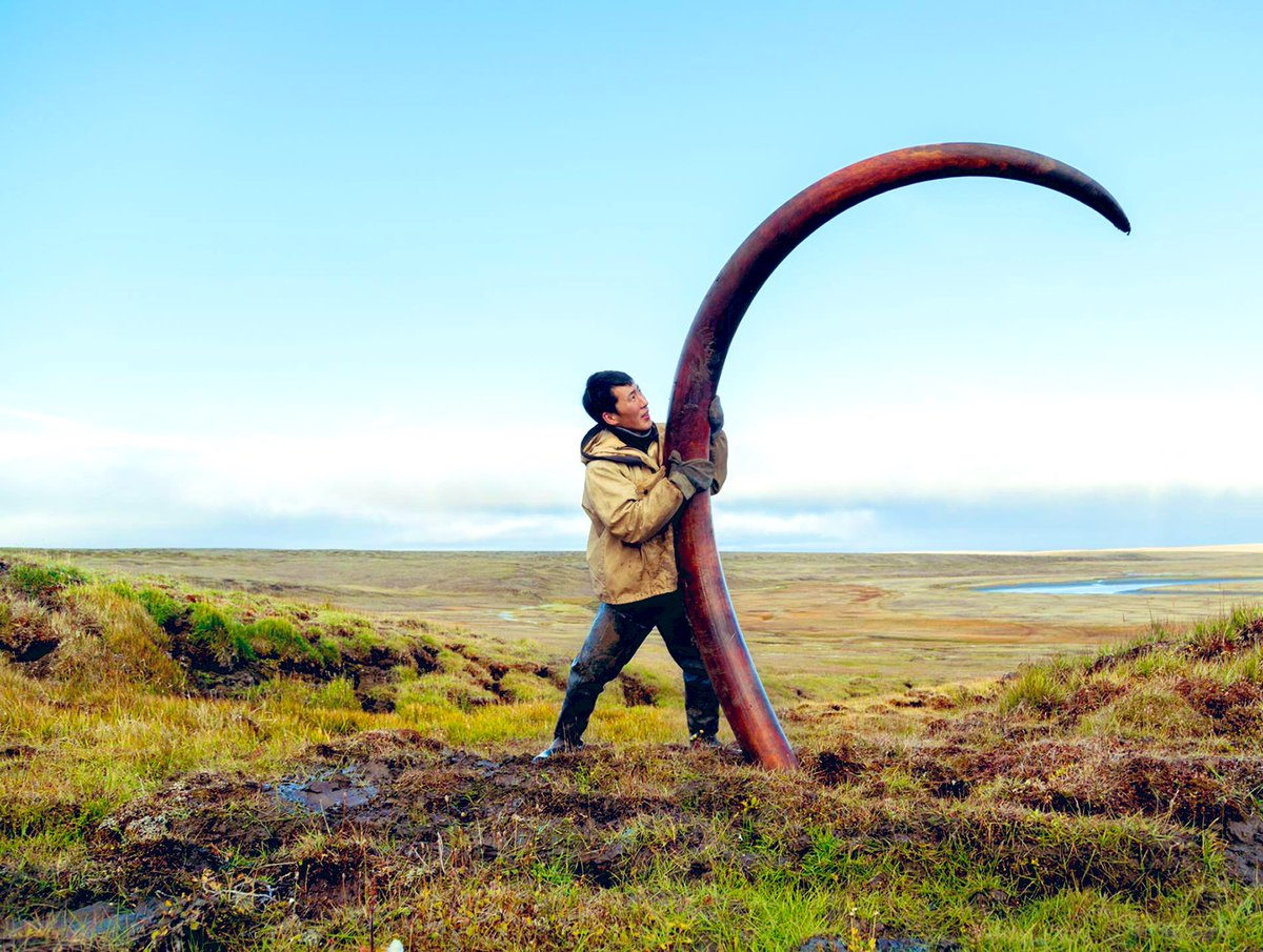 Wow! A 12,000 Year old Mammoth tusk found in Siberia #SaturdayVibes