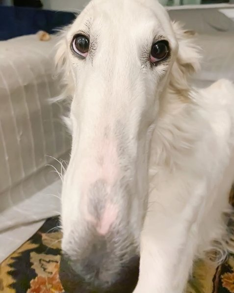 "just spent 10 minutes googling ""the longest borzoi"" and came across Madam Eris who holds the world record for longest nose, magnificent"
