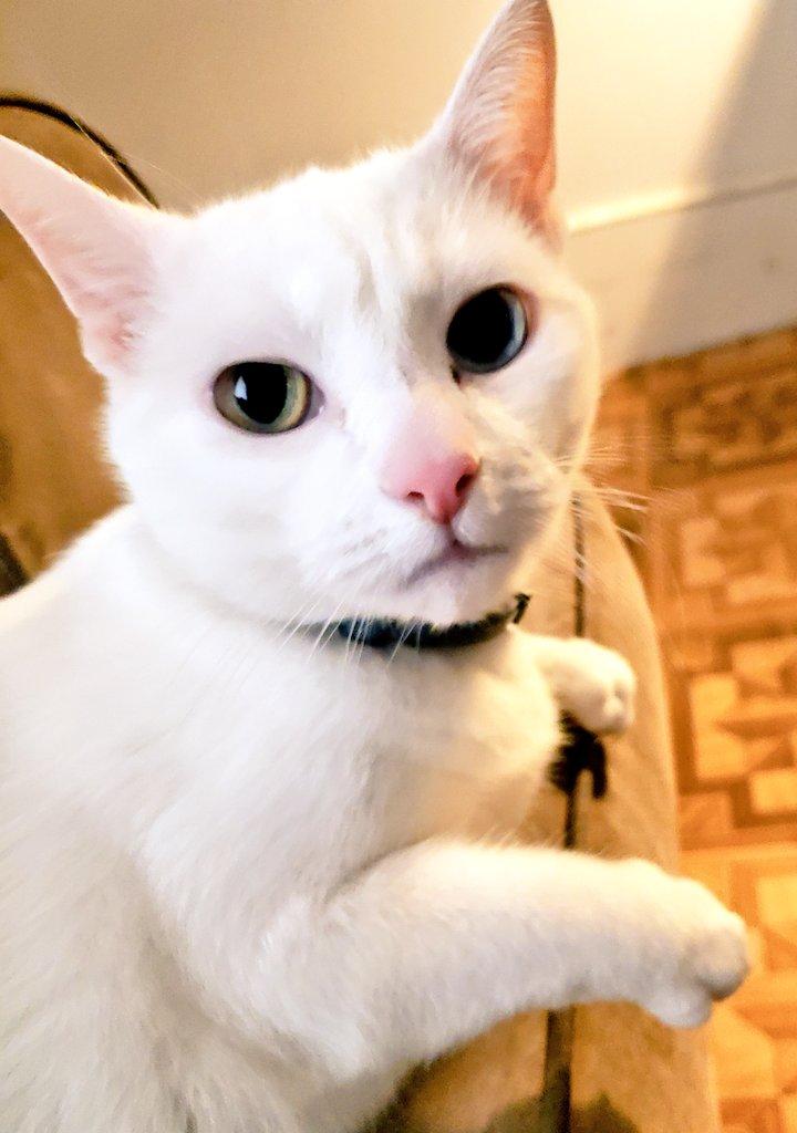 Good morning Twitter! Snowball wants you to enjoy your Saturday. 🌞😻💕🐾 #SaturdayMorning #saturdayvibes #Caturday #catsoftwitter #cats #CatsOnTwitter #SaturdayThoughts #GoodMorningTwitterWorld