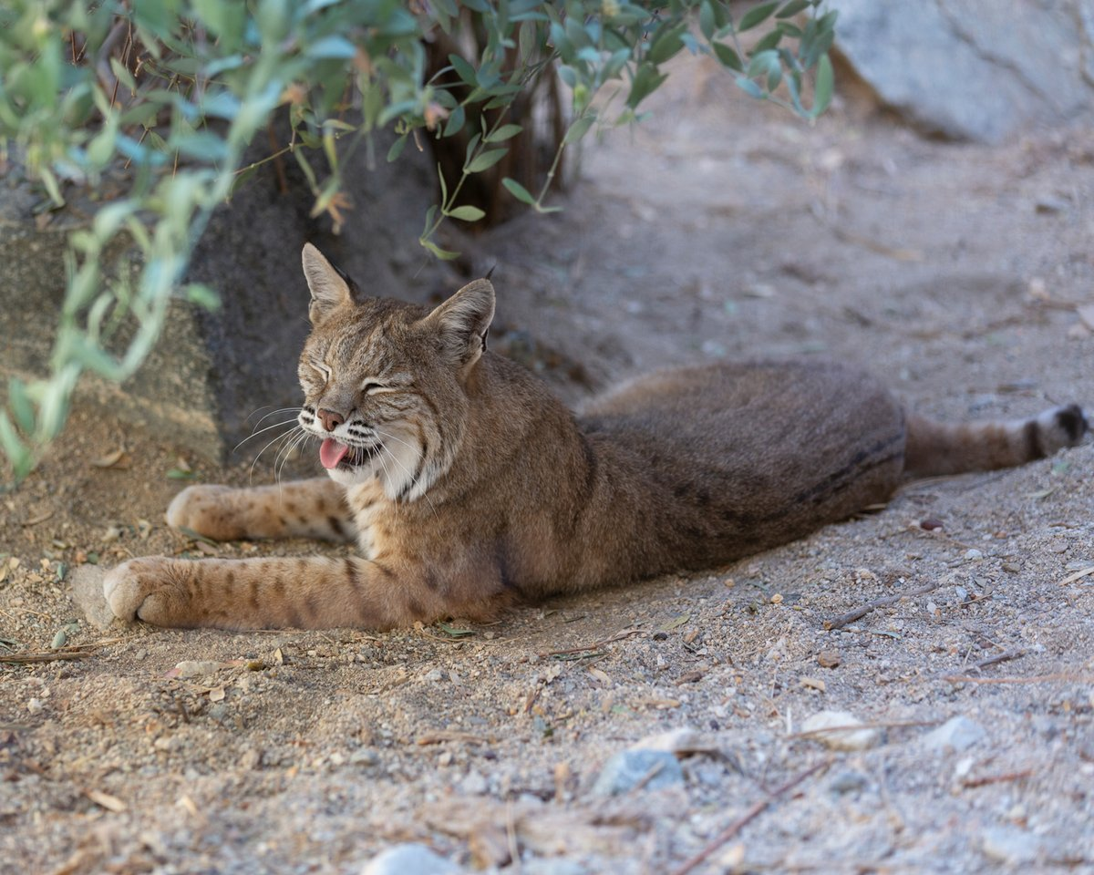 """How did the bobcat get its name??? For its stubby little """"bobbed""""-looking tail! But what the bobcat lacks in tail length, it makes up for in personality.  #Caturday #TheLivingDesert"""