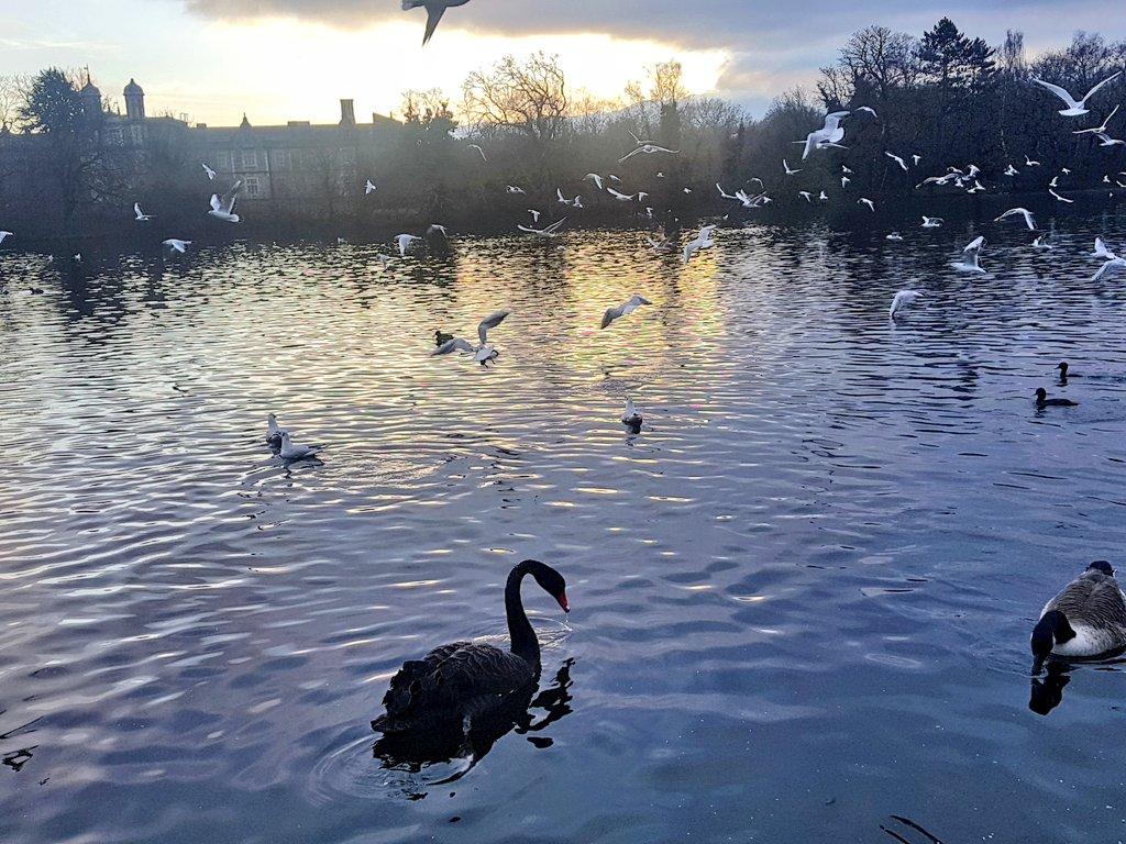 #Saturday  #walking #meditation  #sunset #BlackSwan 🖤 Beautifully elegant, what a lovely #giftofhappiness 🙏🏽