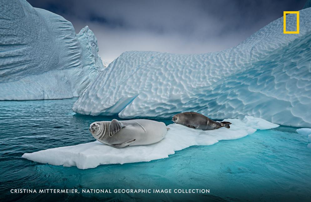 A pair of crabeater seals nap on floating ice in Antarctica