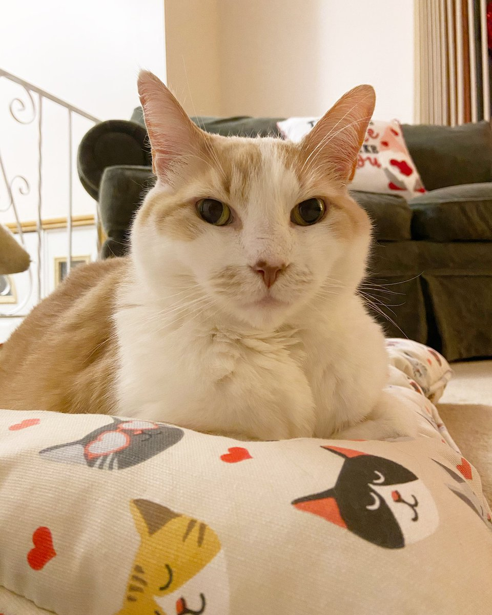 How to spend #Caturday?  Start by lounging on your new pillow, and add #RockStarCatCornell!  😺  #CatsOfTwitter
