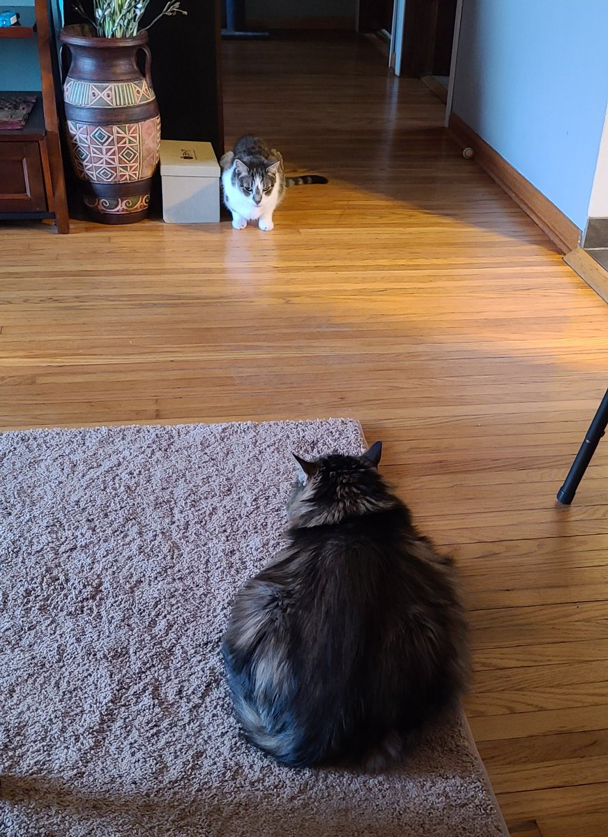 @thechrisbarron #Caturday Saturday morning stare off...who will blink first?...Fluffy Mia or Boots?