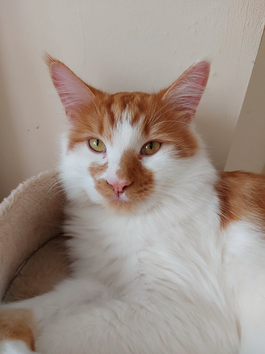 Happy #Caturday from Jasper. I can't stop kissing him...💗🥰💗 Rescues are full of abandoned cats and kittens waiting for homes... Please stop breeding and buying... #Adoptdontshop #rescuecat #cat #gingercat #furbaby #rescue #CatsOfTwitter #lovecats