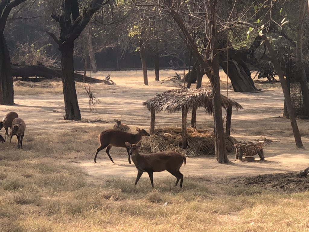 Thatched roofed shelters and paddy straws are the part of winter drills, which is liked by ungulates including barking deers. Zoo keepers play a crucial role in making lives of animal comfortable in the adverse weather conditions. #Deers #enrichments