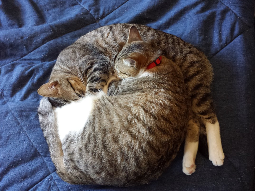 Since it's #Caturday, here are Turbo and Nita, my yin and yang littermate cats.