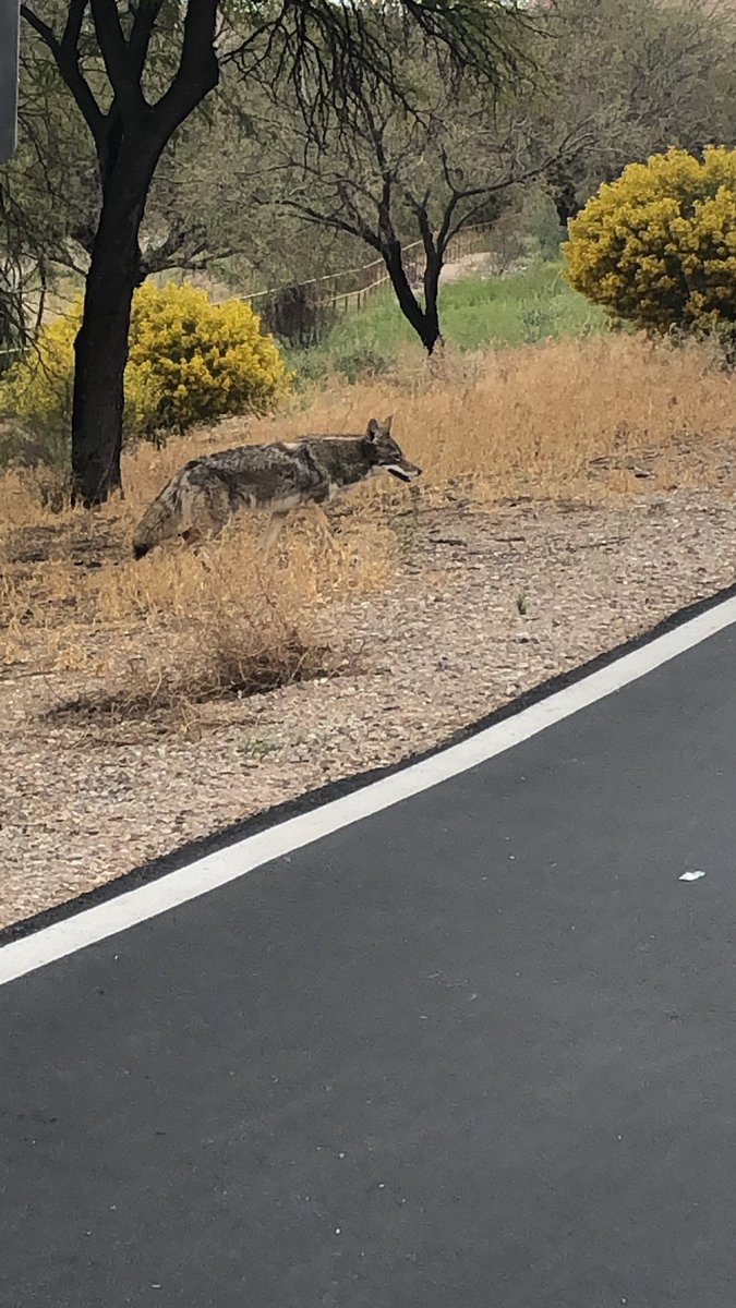 @zoecology I love seeing #coyote on my runs & rides along the #SantaCruzRiver in #Tucson #theloop #canislatrans