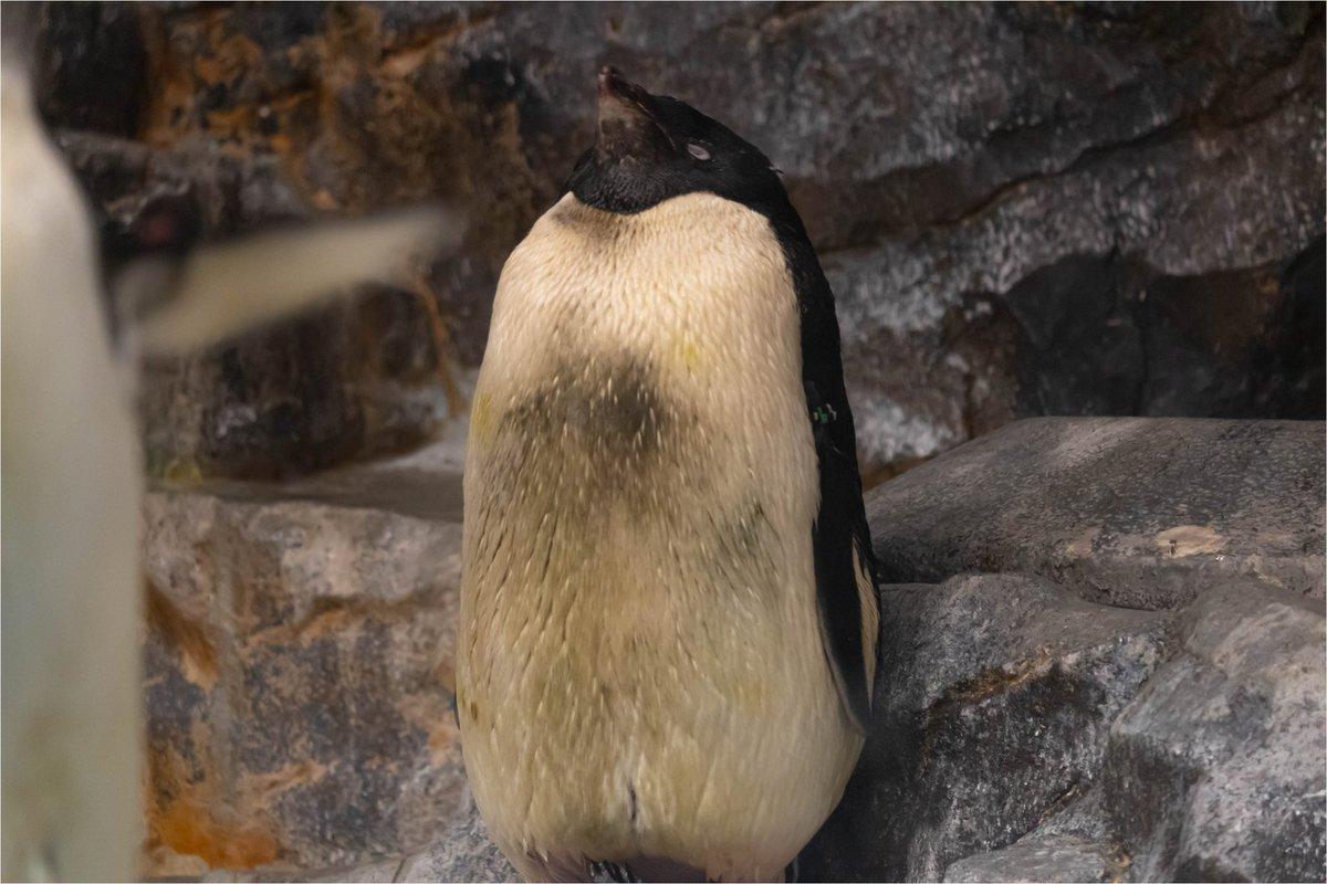 おねむのアデリー。めっちゃむっちり。 そして、手前ではブルブルアデリ。 #名古屋港水族館 #水族館 #アデリーペンギン #ペンギン #penguin #penguins