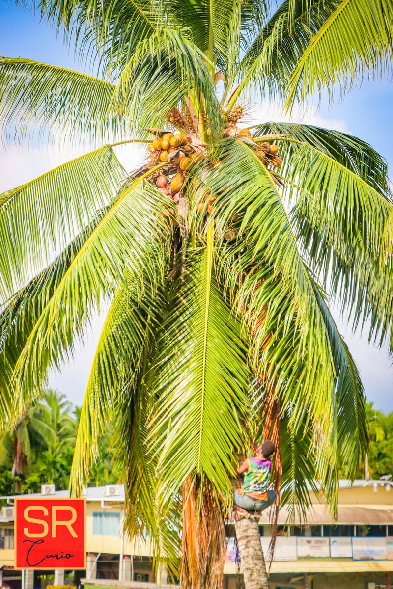 Self care Sunday Tip 1: 🥥🌴  Add drinking kulau or coconut water today.  It is abundant and for free if you have them in your village or backyard.  #PNG #selfcaresunday #socialimpact #coconutwater #travel #selfcare #staycation #coconut  #coconutwater  #vacation #wewak