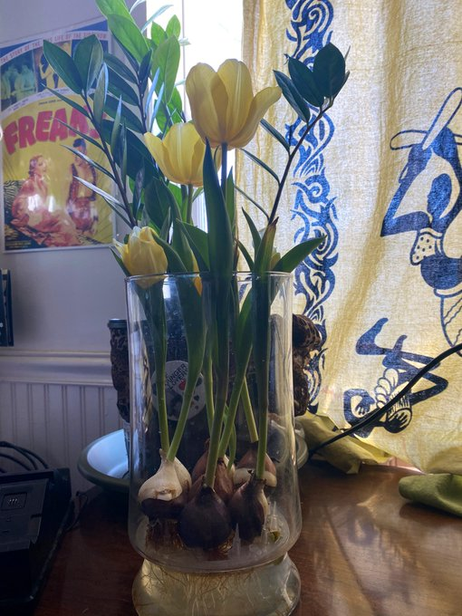 I'm so proud of my hydroponic tulips even though I did nothing but bring them home. Every time I add