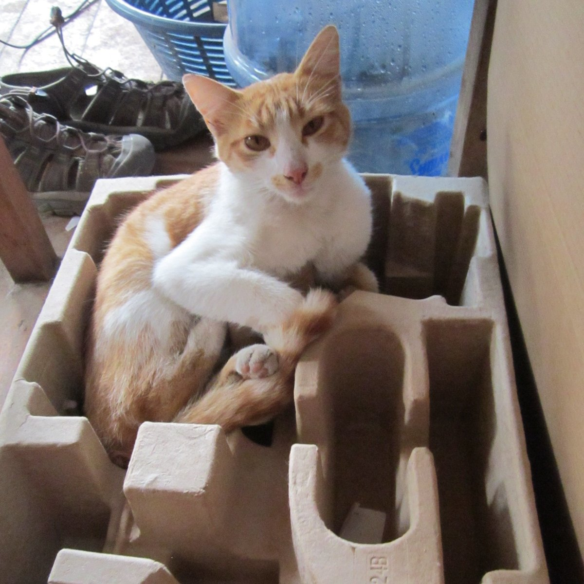 Tarzan is such a little stoner with his moustache and squinty eyes! #Caturday (If it fits, he sits!)