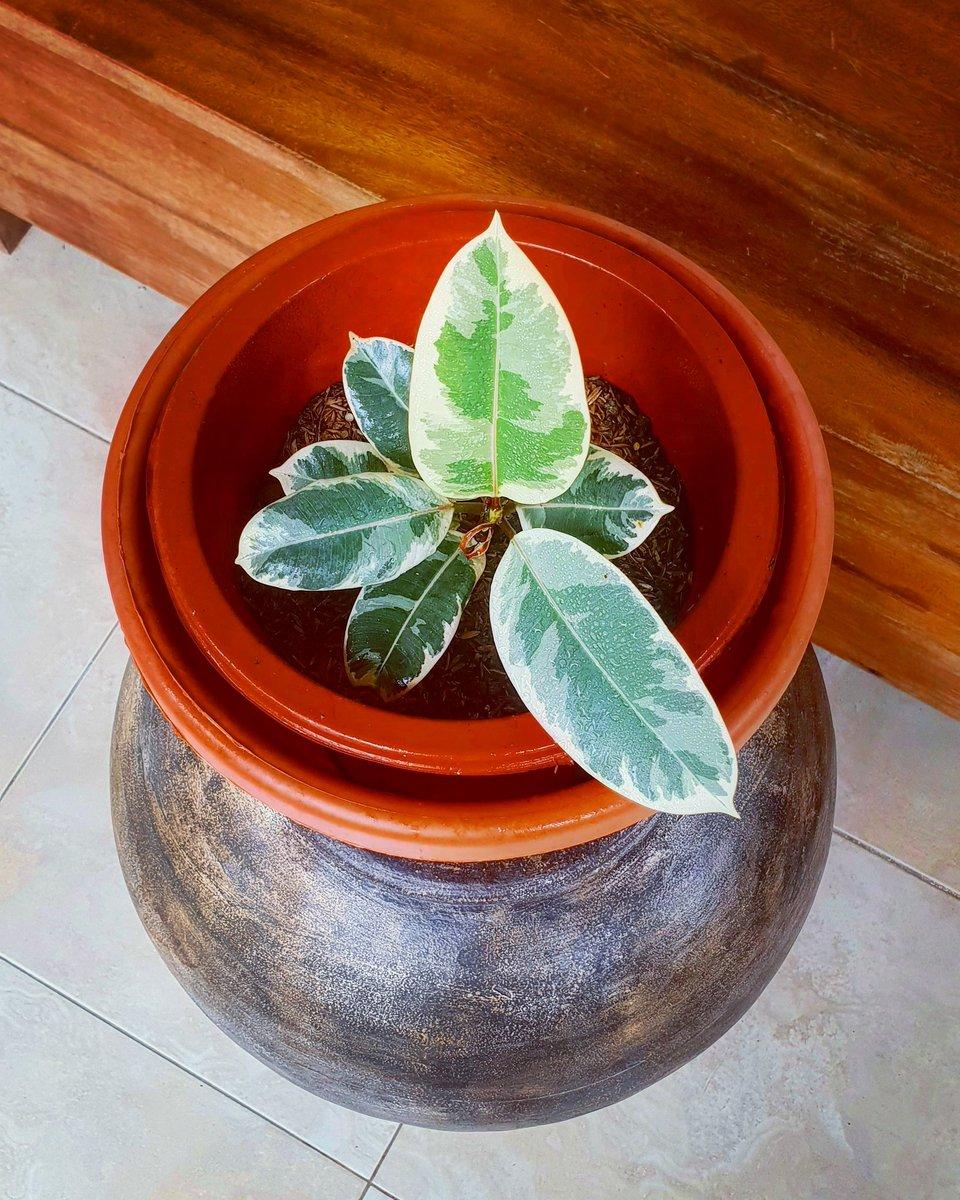 #tineke #tinekeficus #plants  #plantito #ficus #plantislife