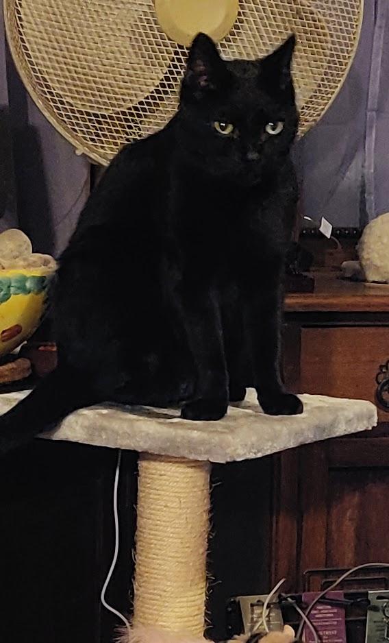 #CatsOfTwitter #Caturday Still limping, but can jump on his tree! @BlaineRincon @TiffyLaw3 @RoodJood @littlekatmom  @kat3796 @Miss_1999 @LilithTheCat999 @thechrisbarron @LouDPhillips @seangunn  @TonyTodd54