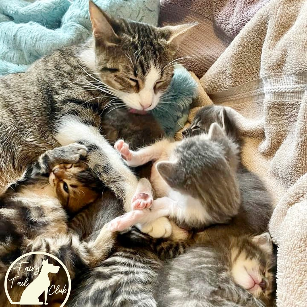 Have you heard about our Fairy Tail Club? It's a great way to help nursing moms like Patty and her kittens by donating monthly to ALIVE Rescue. The best part? YOU decide how much to donate monthly. Become a member today! 😻 https://t.co/LakZrkDIHS https://t.co/TsZhfeAJ58