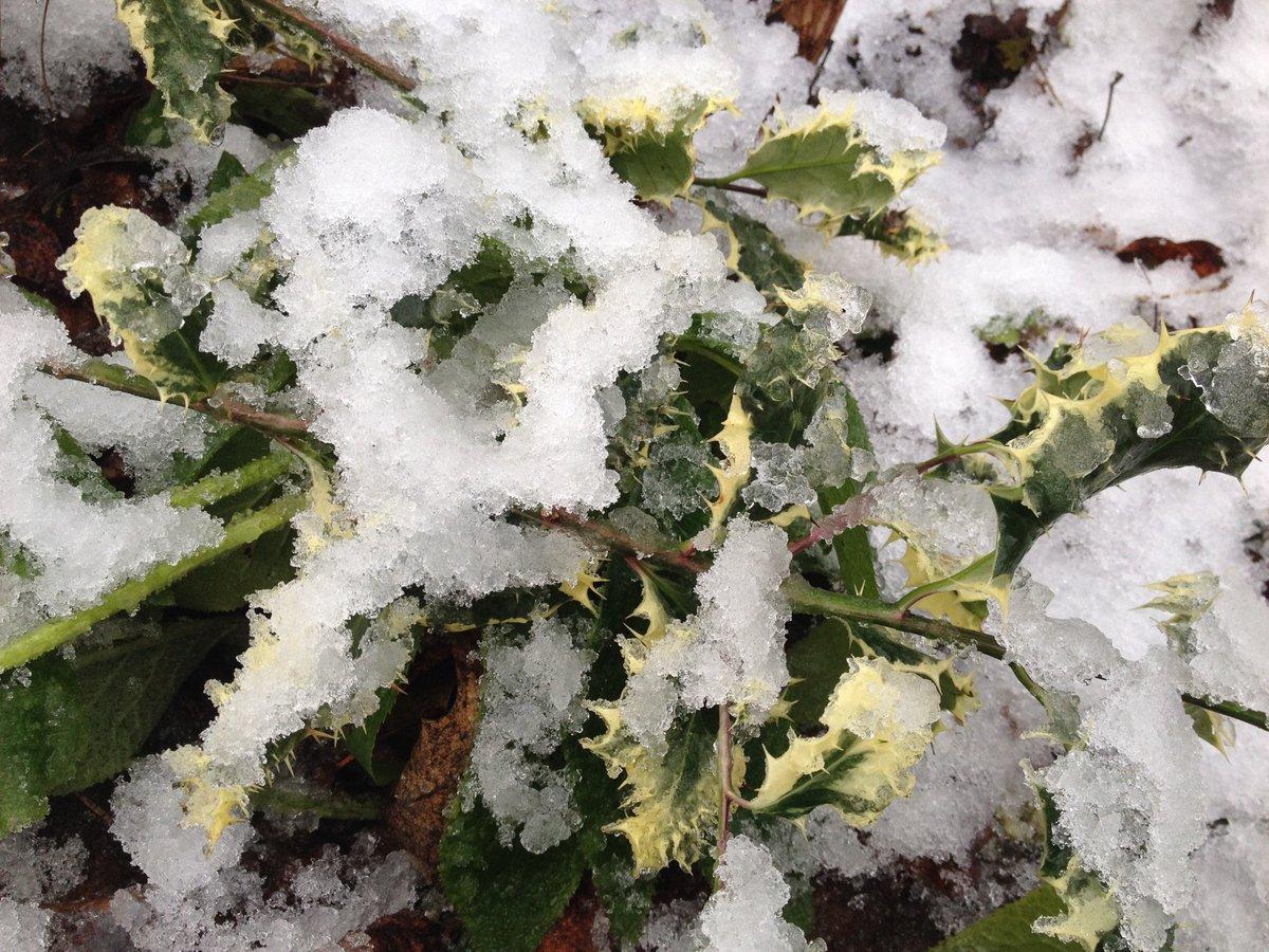 Holly-snow art.......#winter